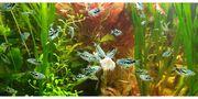 Marmorfadenfische Babys