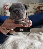 Französische Bulldoggen in blue und