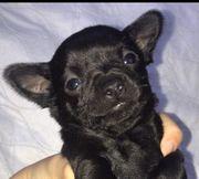 Chihuahua Welpe Mädchen sucht noch