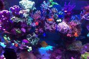 Anemone Koralle Entacmaea quadricolor Meerwasser