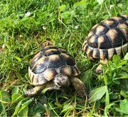 Breitrandschildkröten 8 cm - 11 cm