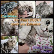 Kleine BKH Whiskas kitten sucht