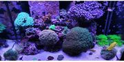 Meerwasser Korallen Korallenableger Steinkorallen