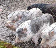 2 Minischweine abzugeben