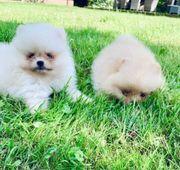 Pomeranian Welpen bereit zu gehen