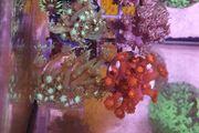 meerwasser korallenableger Zoas Goniopora