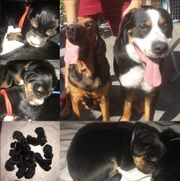 Bloodhound großer Schweizer Sennenhund Hofhund
