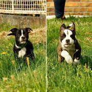 Mix Bulldog Welpen 35-38cm Französische
