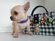 Chihuahua wirklich reinrassig