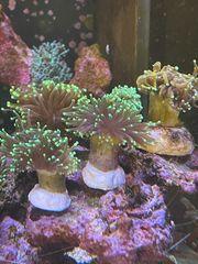 Meerwasser Korallen Euphyllia