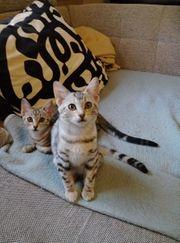 Savannah Kätzchen Katzenbabys F6