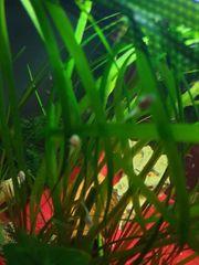 Albino Antennenwelse