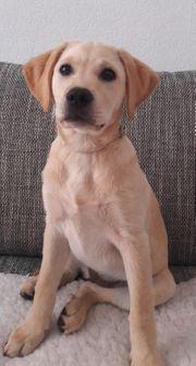 Labrador Welpe sucht ein Zuhause