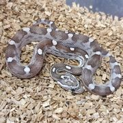 Anerythristic Motley-x-Striped het Coral Ghost