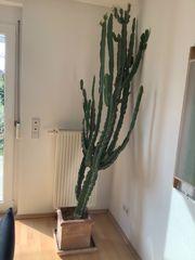 Sehr schöner großer Wolfsmilch Cactus