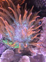 Koralle Blasenanemone Kupferanemone zu verkaufen