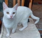 SHEBA - ein Katzentraum in Weiss