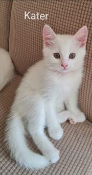 Edelmix Kitten Bkh Türkische Angora