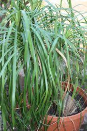 Tausche Yucca Palmen für Beaucarnea
