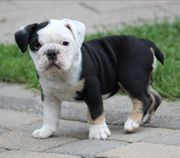 Englisch Bulldogg Welpen