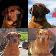 Wurfankündigung Labrador Welpen Dunkles Foxred