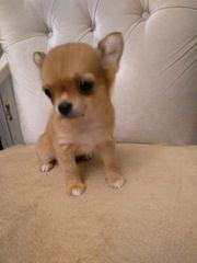 reinrassige Langhaar Chihuahua Welpen
