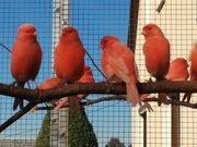 Rote Kanarien
