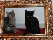 Europ Kurzhaar-Kätzchen suchen ein gutes