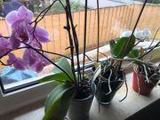 3 blühende Orchideen