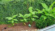 winterharter Bananenbaum ca 2 Meter