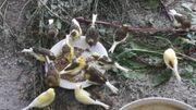 Kanarienhähne Naturbrut aus Kalthaltung aus