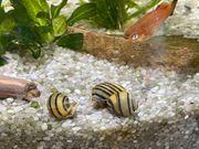 Zebra Apfelschnecke Aquarium