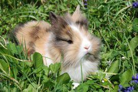 Wunderschöne Zwergkaninchen: Kleinanzeigen aus Großbettlingen - Rubrik Kleintiere