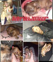 Chihuahua In Hessen Hunde Kaufen Verkaufen Auf Quoka De