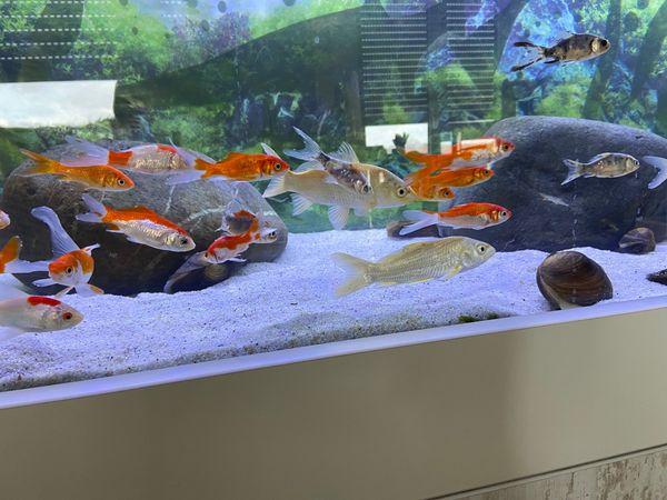 45 Goldfische und 6 kleine