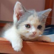 Bkh kitten sucht