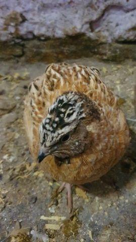 Wachteln Wachtelhähne: Kleinanzeigen aus Karsdorf Wennungen - Rubrik Vögel