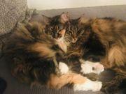 Norwegische Waldkatzen Banshee und Diego