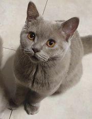 BKH Kitten mit Impfpass