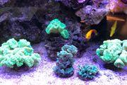 Neongelbe Caulustrea Korallen Korallenableger Meerwasser