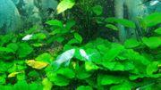 Gabelschwanz Blackmolly in silber-weiß Lyra