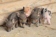 Göttinger Minischweine