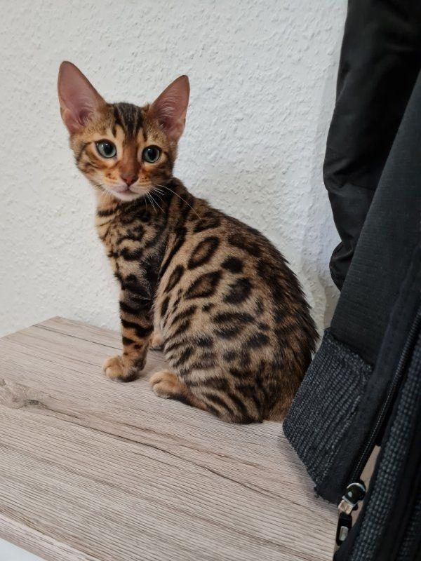 Bengal Kitten und Elterntiere Katze Kater Zuchtauflösung mit Stammbaum