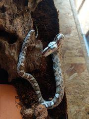 erdnatter baby pantherophis obsoletus lindheimeri