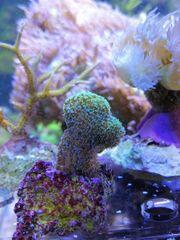 Korallen Ableger Sps