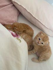 Norwegische Waldkatzen Kätzchen Kitten