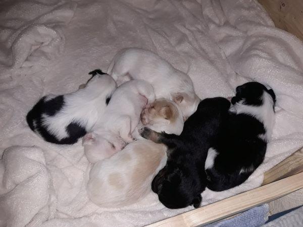 5 Chihuahua Welpen