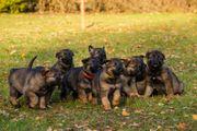 Deutsche Schäferhunde aus Kör - und