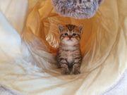 Knuffige Bkh Kitten