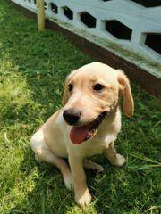 Labrador Retriever Welpe